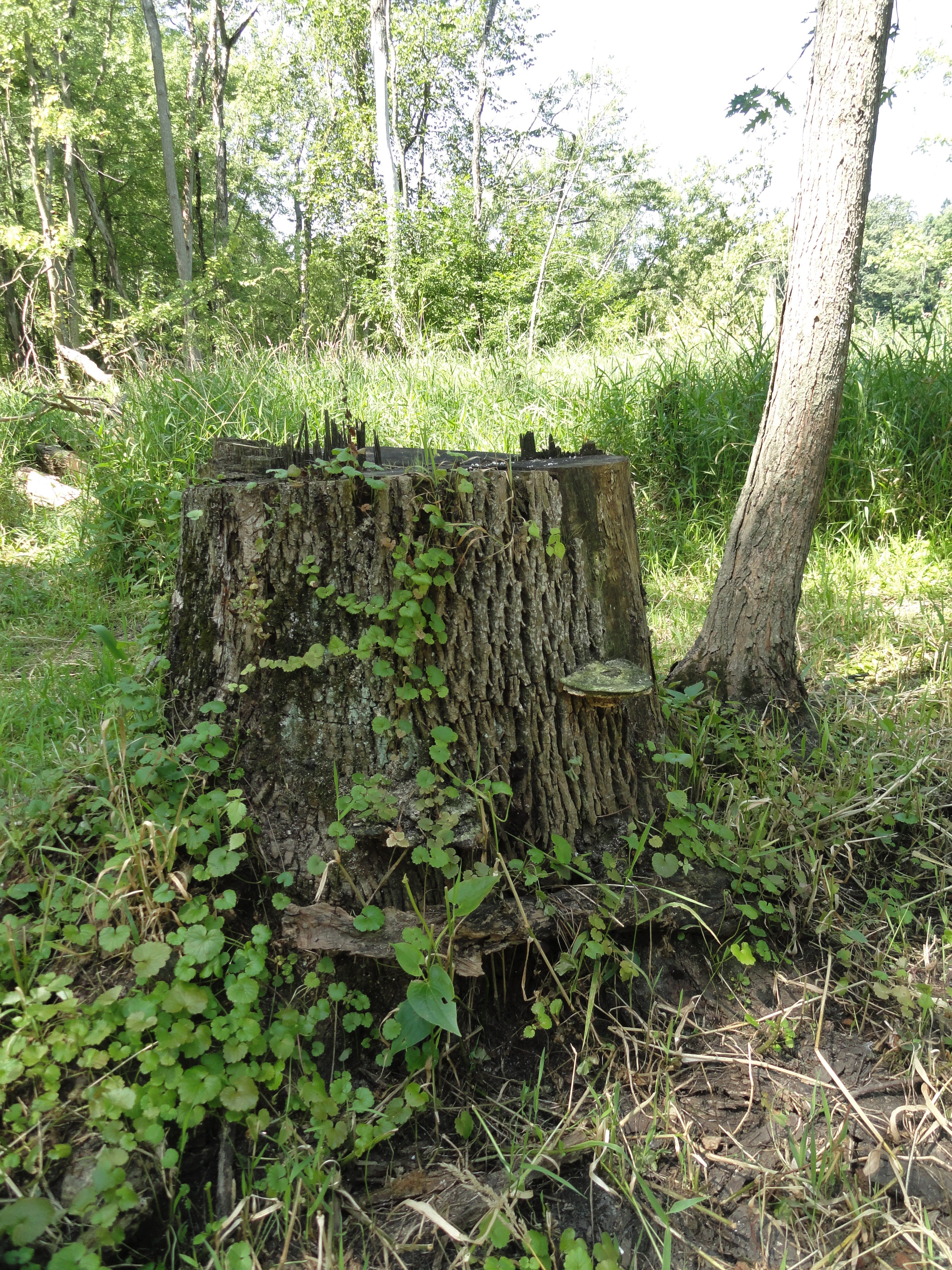 A tree stump along the trail for the WMU Fort St. Joseph open house. Vines and old shelf mushrooms cover it.